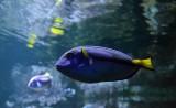 chirurgien-bleu-a-palette-paracanthurus-hepatus-1-75