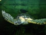 copie-de-tortue-verte-chelonia-mydas-77
