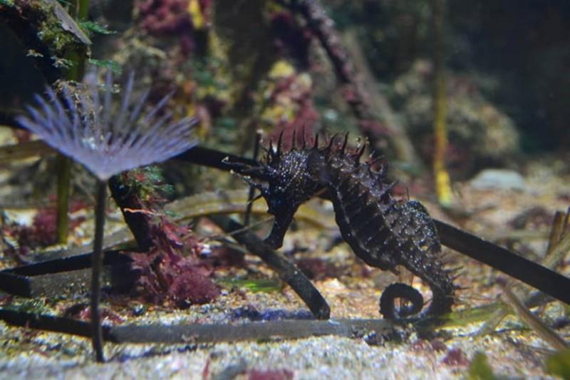 hippocampe-chevelu-hippocampus-guttulatus-42-80